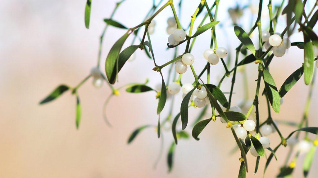 Apakah Mistletoe Dapat Membantu Mengobati Kanker